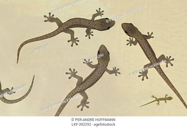 Four lizards on sandy beach, Manila, Makati, Metro Manila, Luzon Island, Philippines, Asien