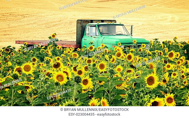 An agricultural flat bed pickup truck sits in a field of sunflowers with wheat field in background