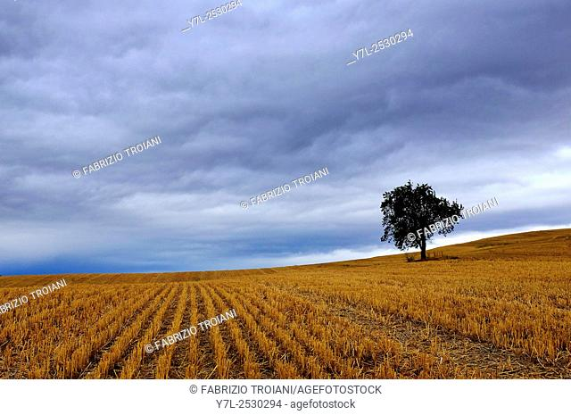 Tree in an harvested wheat field around Villamayor de Monjardin,Navarre, Spain