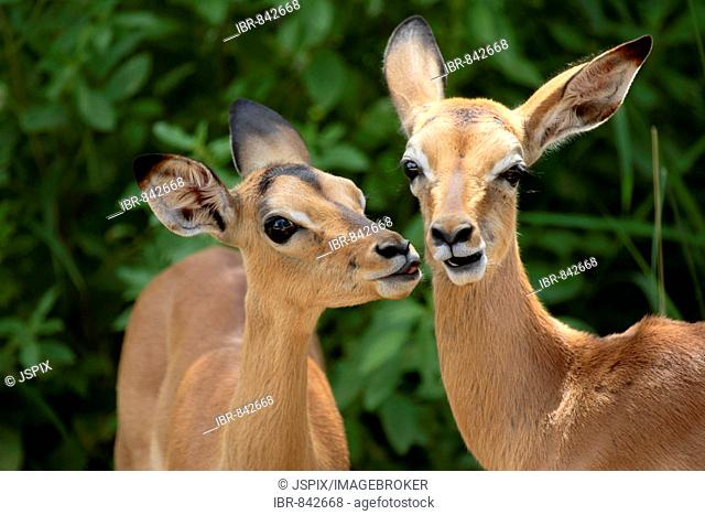 Impala (Aepyceros melampus), calves, social behaviour, portrait, Kruger National Park, South Africa, Africa