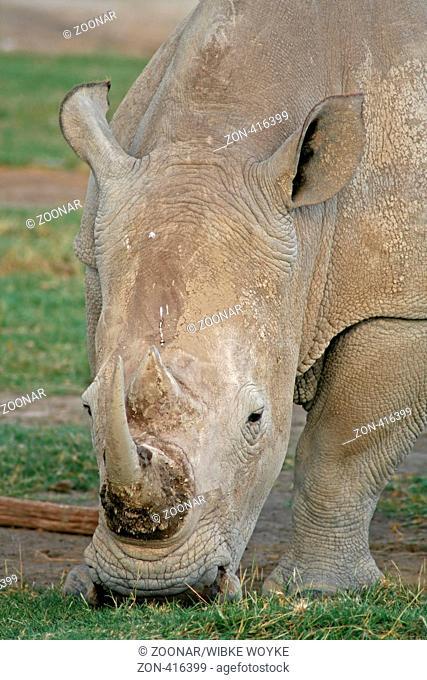 Rhinoceros at Nakuru Nationalpark, Kenya