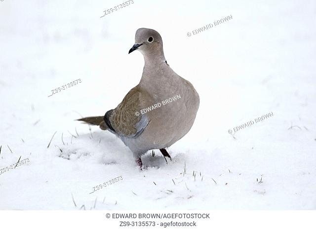 A Collared dove (Streptopelia decaocto) after fresh snow fall, East Sussex, UK
