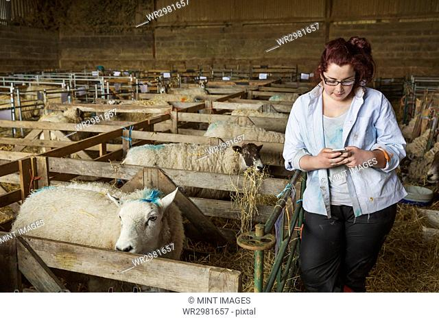 Young woman standing a stable next to a sheep pen, looking at her mobile phone