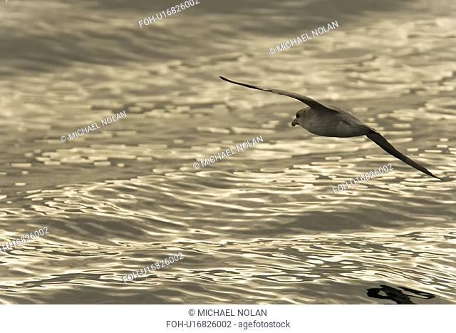 Northern fulmar Fulmarus glacialis on the wing at sunset in the Barents Sea in the Svalbard Archipelago, Norway