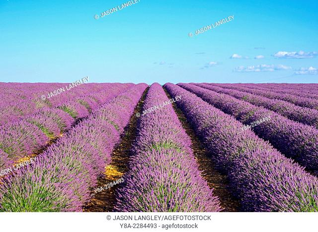 Rows of purple lavender in height of bloom in early July in a field on the Plateau de Valensole, Provence-Alpes-Côte d'Azur, France