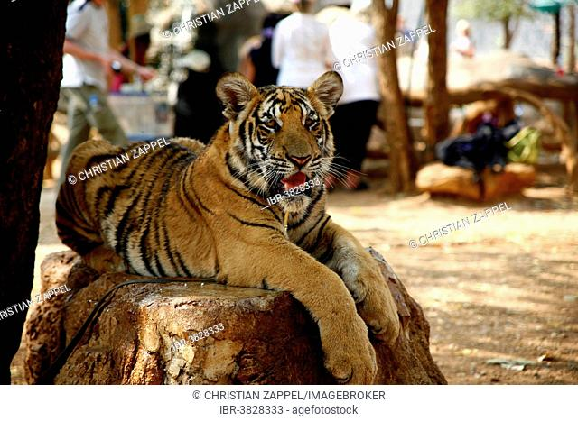 Tiger Temple or Wat Pa Luangta Bua, Indochinese Tiger (Panthera tigris corbetti), Kanchanaburi, Thailand
