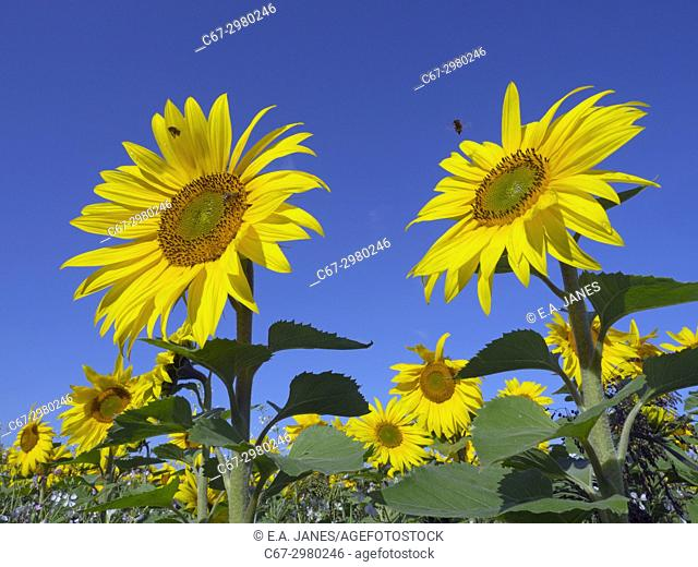 Sunflowers in bloom on Norfolk Farmland grown as game feed for forthcoming shooting season