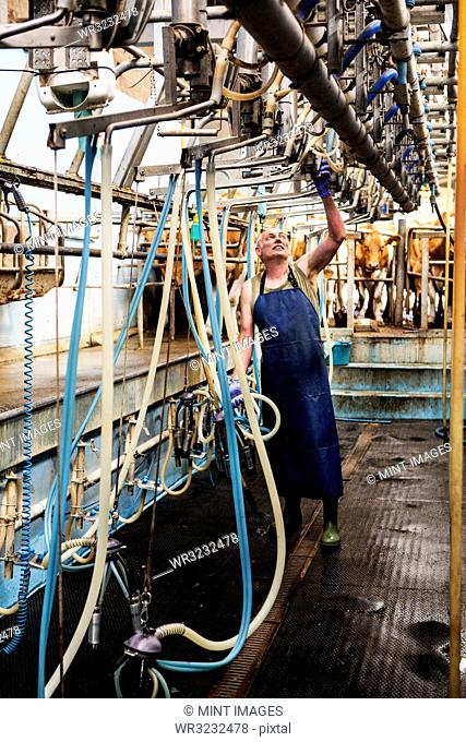Man wearing apron standing in a milking shed, milking Guernsey cows