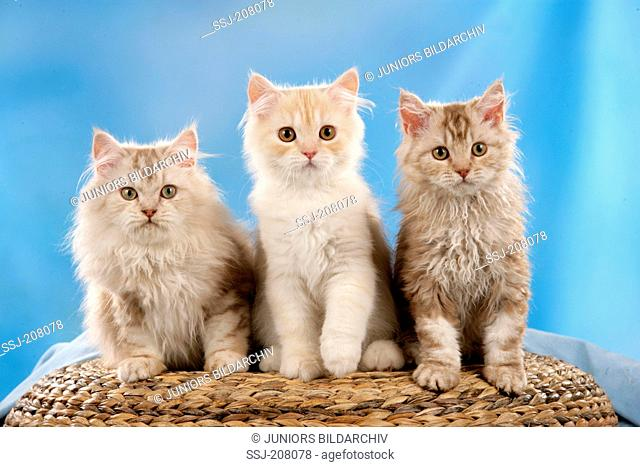 Selkirk Rex and British Longhair. Three kittens sitting on a basket. Studio picture against a blue background. Germany