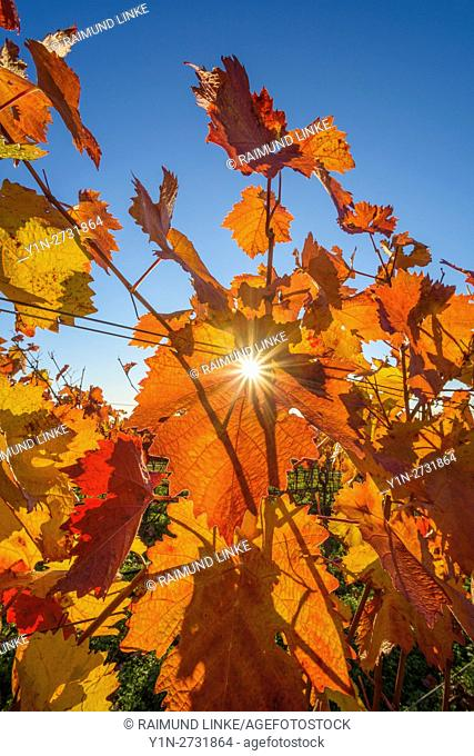 Colorful Vine Leaves in Autumn, Volkach, Maininsel, Alte Mainschleife, Mainfranken, Franconia, Bavaria, Germany