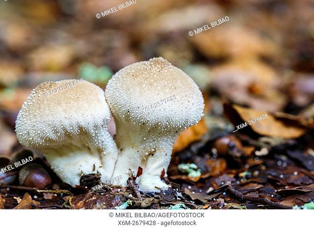 Common puffball (Lycoperdon perlatum). Saja-Besaya Natural Park. Cabuerniga valley. Cantabria, Spain