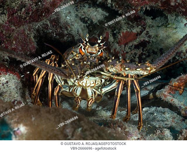 Spiny Lobster (Panulirus argus)