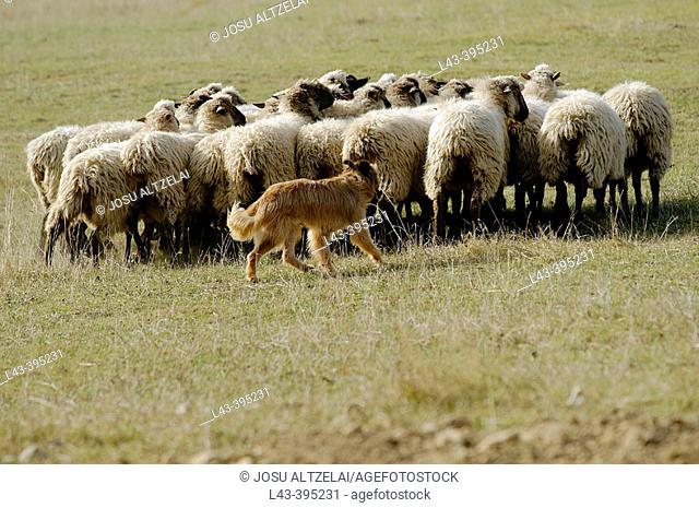 Bsque shepherd dog. Basque Country. Spain