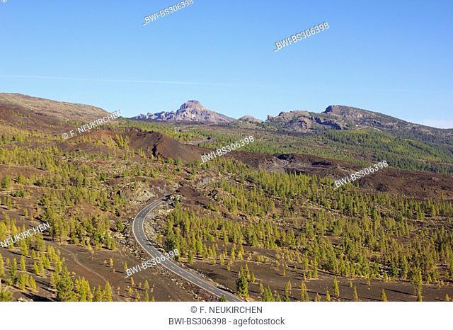 Canary pine (Pinus canariensis), road to Ca?adas Caldera, Canary Islands, Tenerife, Teide National Park