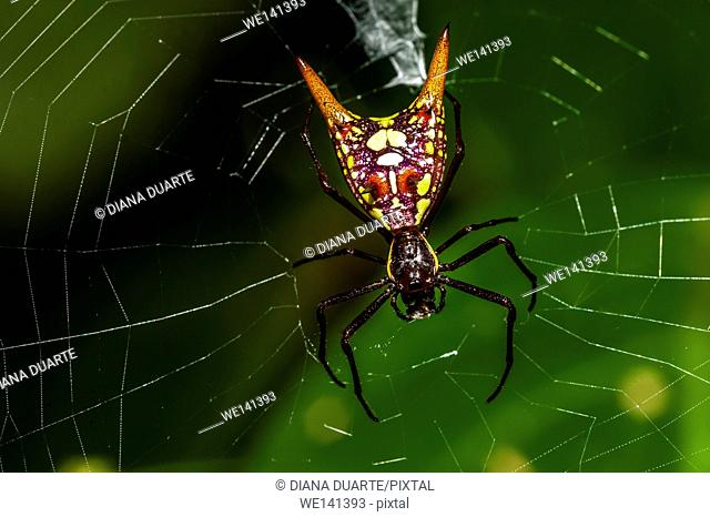 'Arrow-shaped Micrathena' (Micrathena sexspinosa), So once again aposematic coloration comes into play, the spider is dressed in a black and yellow checkered...