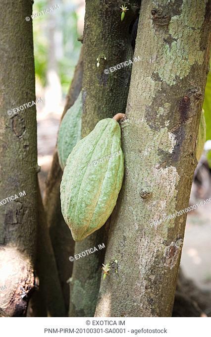 Close-up of cocoa pod on tree, Kochi, Kerala, India
