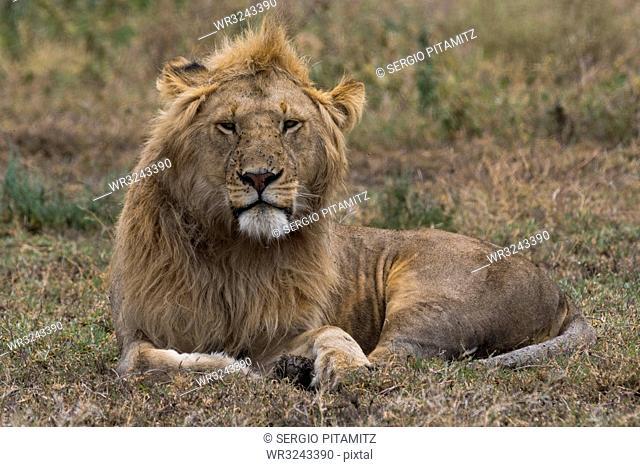 Lion (Panthera leo), Ndutu, Ngorongoro Conservation Area, Serengeti, Tanzania, East Africa, Africa