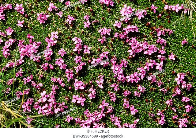 moss campion (Silene acaulis), blooming, Germany
