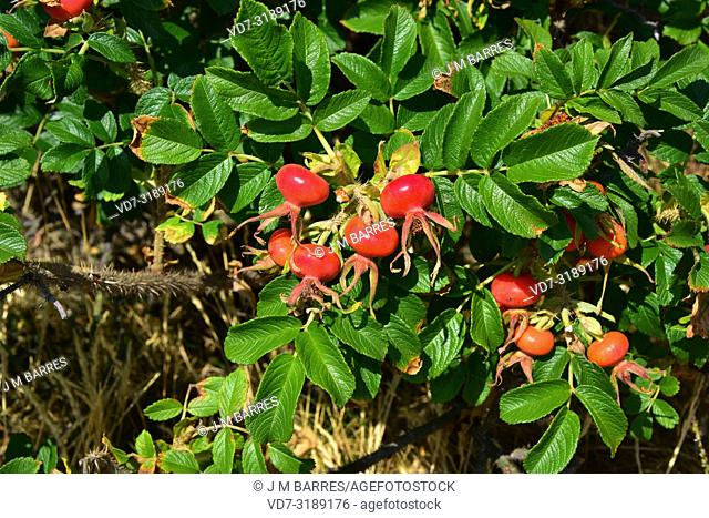 Beach rose (Rosa rugosa) is a deciduous shrub native to eastern Asia and naturalized in northern Europe (invasive). This photo was taken in Bohuslan, Sweden