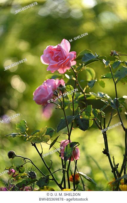 rose (Rosa spec.), pink roses in backlight