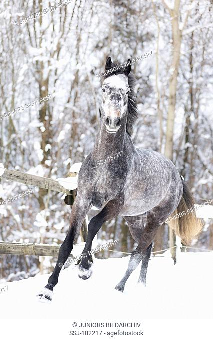 Hanoverian Horse. Gray stallion galloping on a snowy pasture