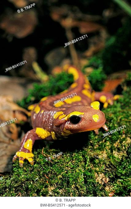 European fire salamander (Salamandra salamandra, Salamandra salamandra terrestris ), albino, Germany, North Rhine-Westphalia, Bergisches Land
