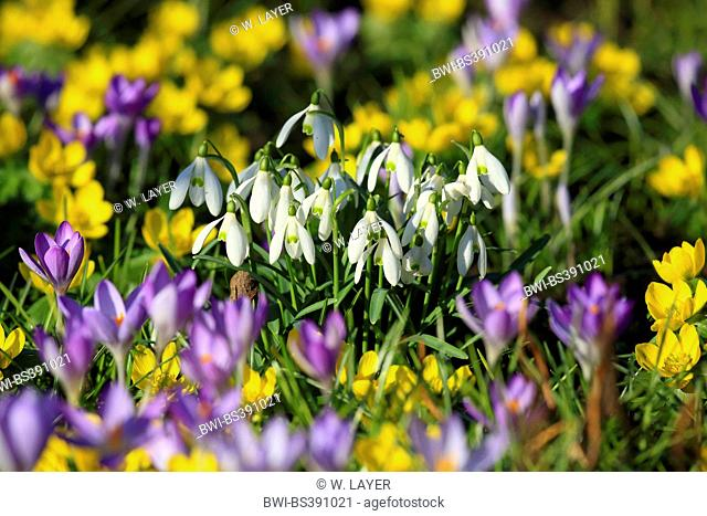 common snowdrop (Galanthus nivalis), with crocuses and snowdrops in a garden, Germany
