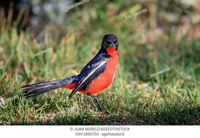 Crimson shrike chest. Pechirojo boubou. (Crimson-breasted shrike). Windhoek. Namibia