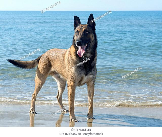 picture of a purebred belgian sheepdog malinois on the beach