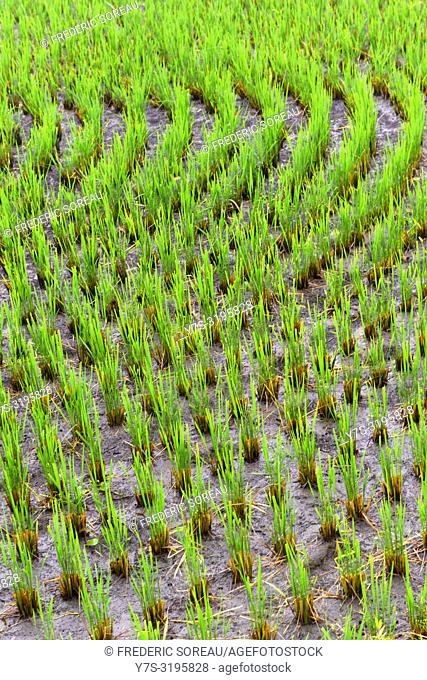 Rice field in Japan Alps, Asia