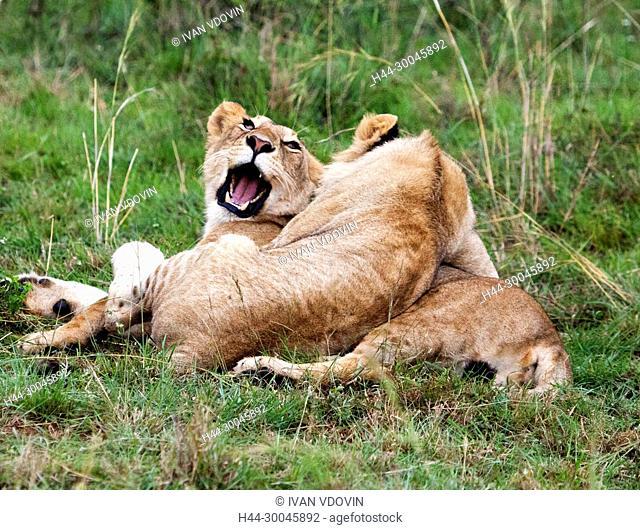 Lion (Pantera Leo), Maasai Mara National Reserve, Kenya