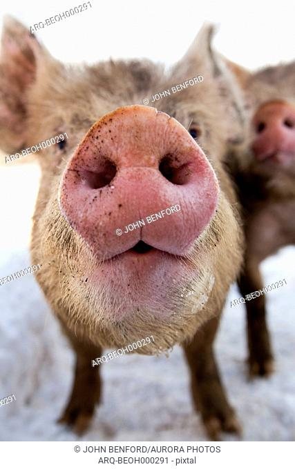 A pig's snout is seen from very close as its sibling tries to squeeze by