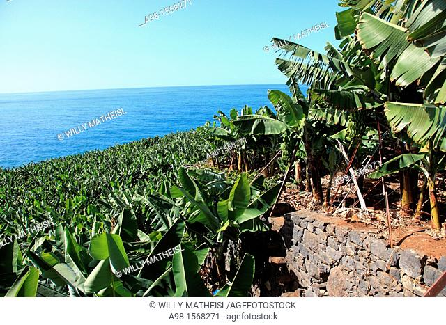 banana tree and banana fruit on tree on the island of Madeira, Portugal, Europe