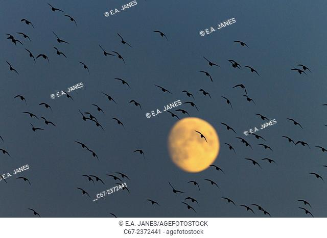Golden Plover Pluvialis apricaria Flock Titchwell Norfolk Autumn moonrise