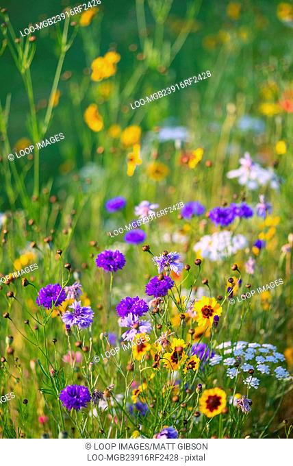 Beautiful wild flower meadow in Summer
