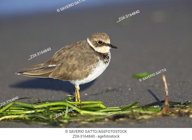 Little Ringed Plover, Juvenile standing on the beach, Campania, Italy (Charadrius dubius)