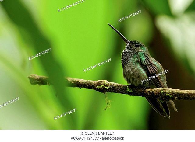 Purple-chested Hummingbird (Amazilia rosenbergi) perched on a branch in the Andes mountains of Colombia