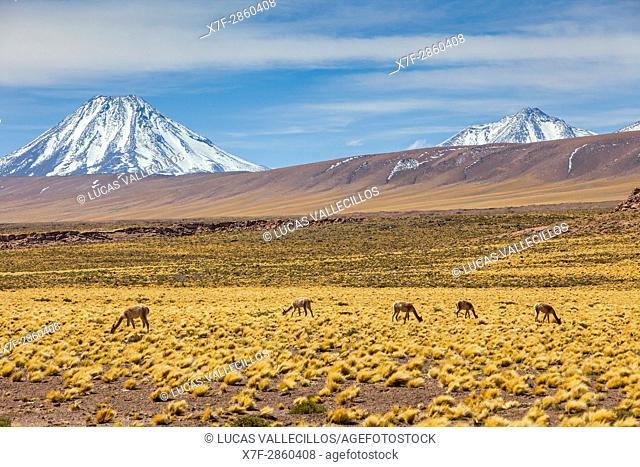 Vicuñas (Vicugna vicugna), in Altiplano, Puna, in background Andes Mountains, Road to Argentina by Paso Sico, near Socaire, Atacama desert