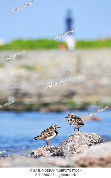 "Two marine birds """"ruddy turnstone"""" on the Sein Island in Brittany. Arenaria interpres"