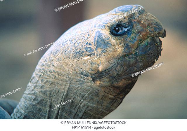 Giant Tortoises. Galapagos Islands. Ecuador