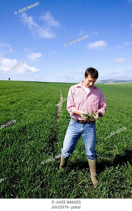 Farmer examining young wheat crop