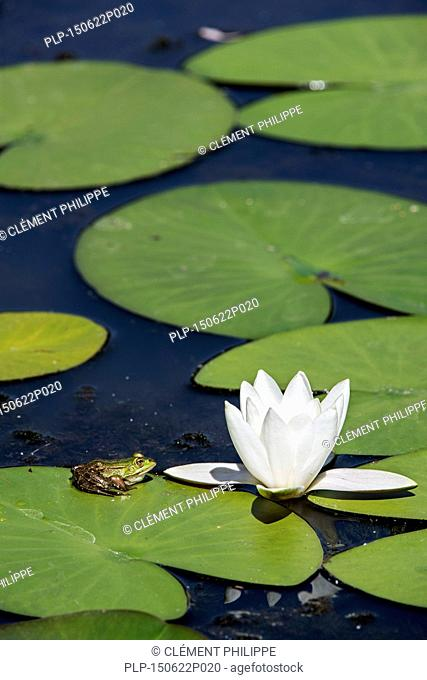 Edible frog / common water frog / green frog (Pelophylax kl. esculentus / Rana kl. esculenta) sitting on floating leaf of European white waterlily / white water...