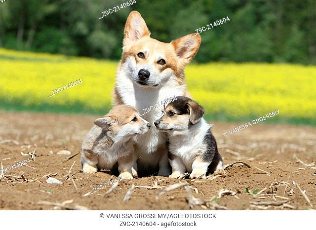 Dog Pembroke Welsh corgi / adult and two puppies in a field