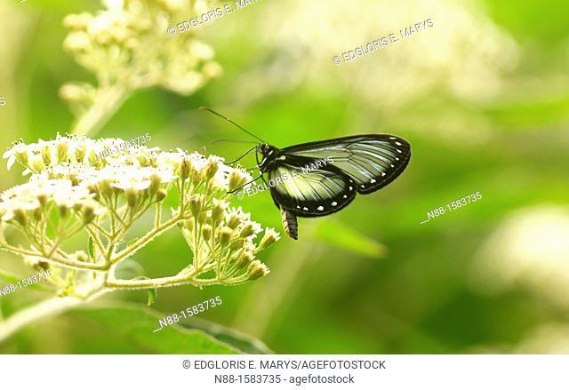 Hypothyris antea atagalpa, butterfly, cloudy forest, Altos de Pipe, Venezuela