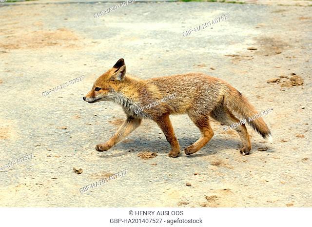 Red Fox - cub (Vulpes vulpes) - June 2008