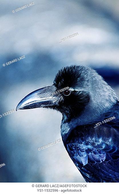 Common Raven, corvus corax, Portrait of Adult