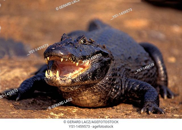 BROAD NOSED CAIMAN caiman latirostris, ADULT WITH OPEN MOUTH, PANTANAL IN BRAZIL