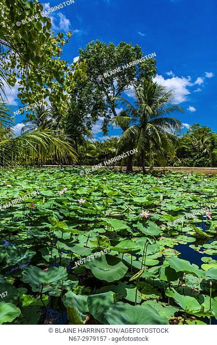 Lily pads, Buddhist temple at Long Hung, Chau Thanh, Mekong Delta, Vietnam
