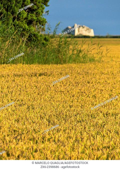 Mature rice ready for the harvest and St. John's Tower ruins. Ebro River Delta Natural Park, Tarragona province, Catalonia, Spain