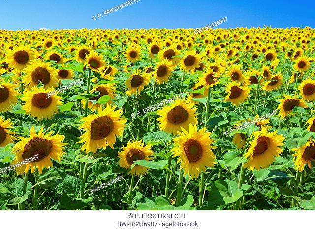 common sunflower (Helianthus annuus), sunflower field with blue sky in backlight, Switzerland